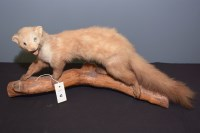 Lot 43-Taxidermy: a stuffed and mounted stoat mounted on ...