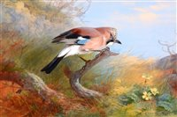 Image for A study of a jay.