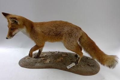 Lot 156 - Taxidermy of a fox cub