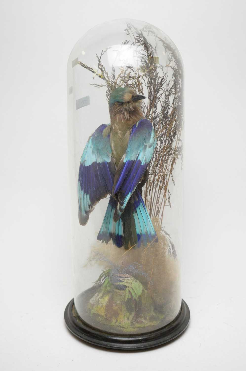 Lot 771 - A mounted taxidermy Indian roller.