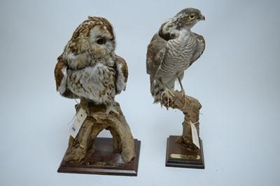 Lot 388 - Taxidermy study of a tawny owl; and a sparrow hawk.