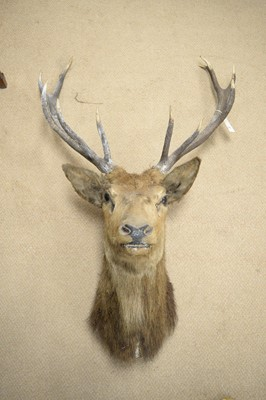Lot 467 - A red deer stag mounted head trophy