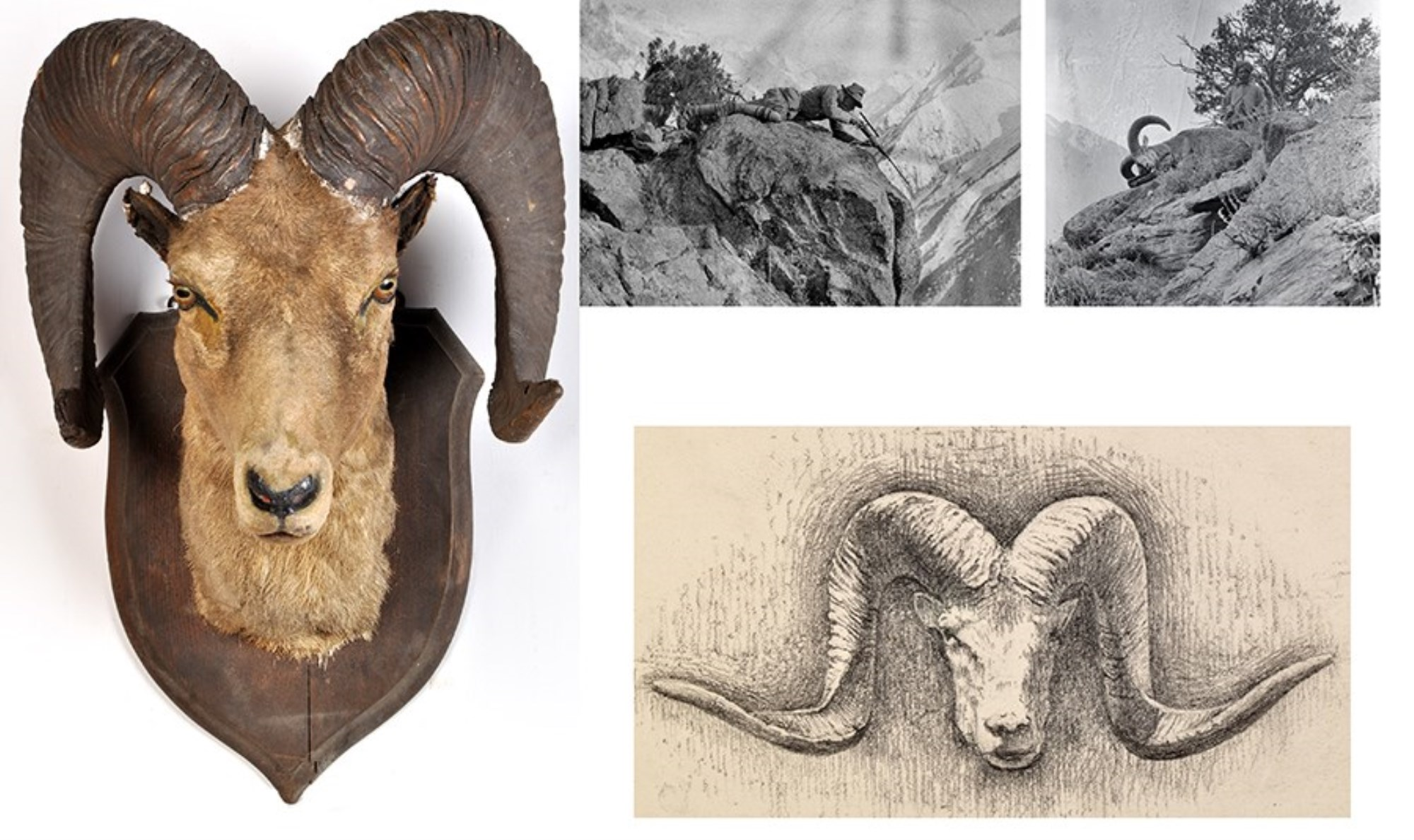 Rowland Ward, Taxidermy: a Bighorn Himalayan mountain goat, set glass eyes and mounted to oak shield, initials ''R.W.'' to reverse, 23 x 32in. high; together with a sketch book containing pencil drawings of trophies, including present Bighorn; and two celluloid negatives of the huntsman taking the shot and the Sherpa standing with quarry.