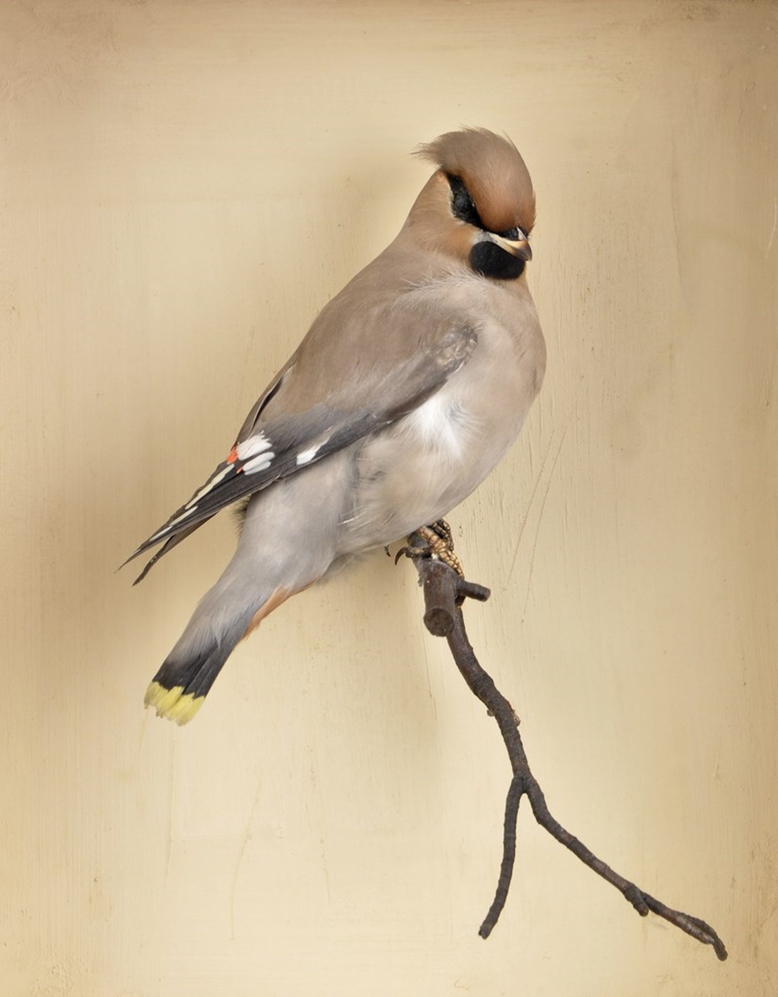 A 20th Century taxidermy Waxwing,