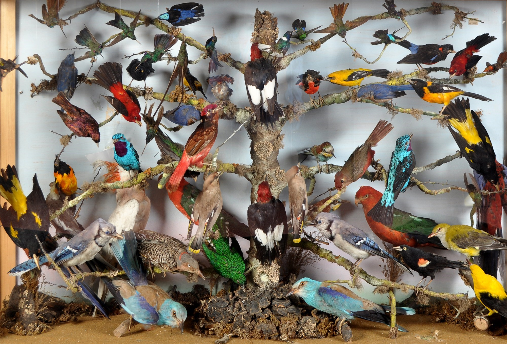 display case of taxidermy exotic birds